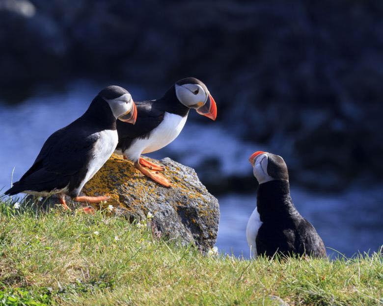 Rathlin island puffins